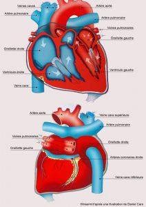 Le coeur, coupe sagittale.